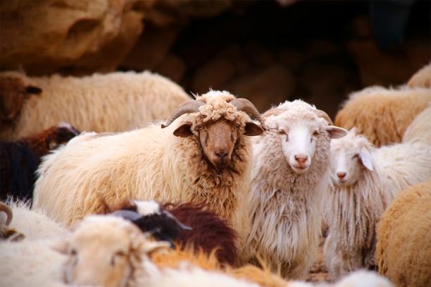 Navajo-Churro sheep.