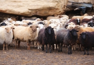 Garnanez sheep.