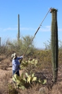 Jacelle's mother, Janice Ramon, knocking down Saguaro fruit with her kuipad (picking stick).