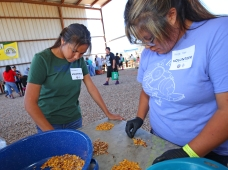 Young volunteers separate acorn nuts from their shells.